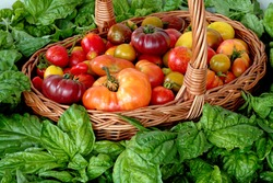 Wicker basket full of tomatoes with fresh basil leaves around. Plenty fresh tomatoes of various colors and heirlooms. Vegetables from own garden.
