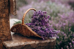 Wicker basket of freshly cut lavender flowers on a natural wooden bench among a field of lavender bushes. The concept of spa, aromatherapy, cosmetology. Soft selective focus.