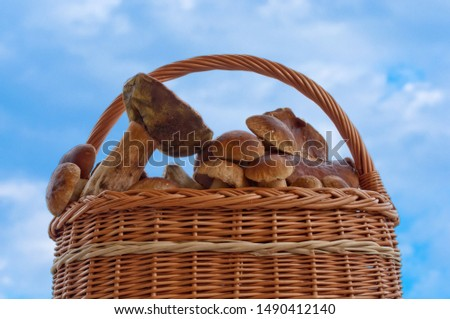 Wicker basket with edible mushroom (boletus edulis bull, borowik szlachetny, prawy, prawdziwek) on a background of blue sky. Mushroom picking. Zdjęcia stock ©