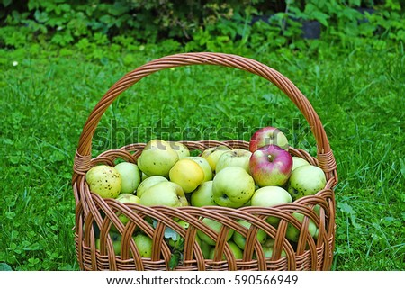 Wicker basket with green apples on a grass background. Disease scab Venturia inaequalis Zdjęcia stock ©
