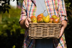 Wicker basket with pears in women's hands, gardener's hands holding a pear crop, close-up, sunlight. Autumn harvest, harvest or harvest.