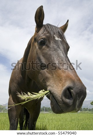 wide angle close-up of brown horse in a pasture eating grass