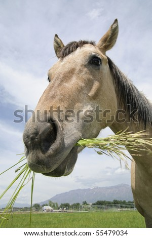 wide-angle close-up of tan horse standing in a field chewing on grass against the sky