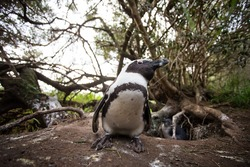 Wide angle close up view of African Penguins at their nesting sites in the Boulders Beach Nature reserve in Cape Town in the Western Cape of South Africa