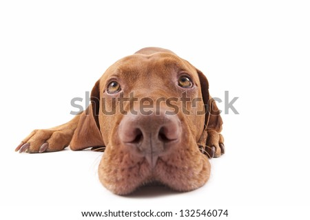 wide angle closeup of a pure breed golden dog looking upwards