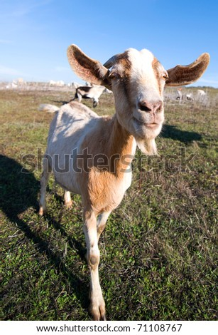 Wide angle photo of a goat moving towards the camera.