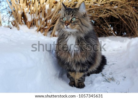 Wide-angle photo of a pretty brown-black Norwegian Forest Cat in the snow