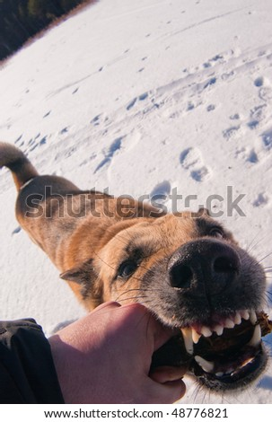 Wide angle photo of the dog playing with stick in hand of its owner. Focus on the eye of the dog.