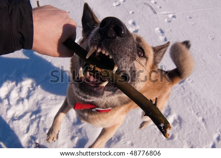 Wide angle photo of the dog playing with stick in hand of its owner. Focus on the nose of the dog.