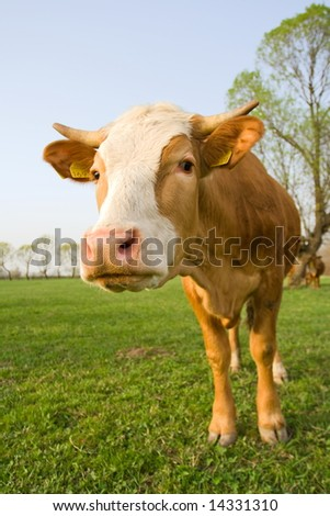 Wide angle shot of a curious cow at meadow - stock photo