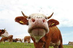 Wide angle shot of cow with horns and many flies on nose
