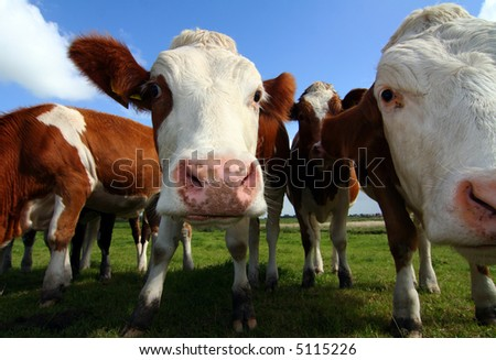 wide-angle shot of cows