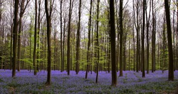 Wide angle shot of the Hallerbos woods in Belgium, millions of bluebells in April