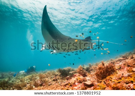 Wide angle underwater shot of a manta ray swimming over a scuba diver. Scuba diver is on the ocean floor and the manta is passing overhead. Hundreds of small fish are behind the manta over the coral #1378801952