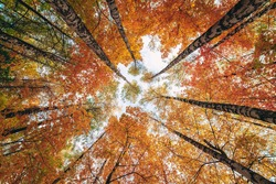 Wide-angle up-view of colorful autumn trees in the forest