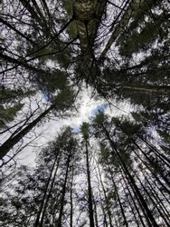 Wide angle view looking up to tall trees.
