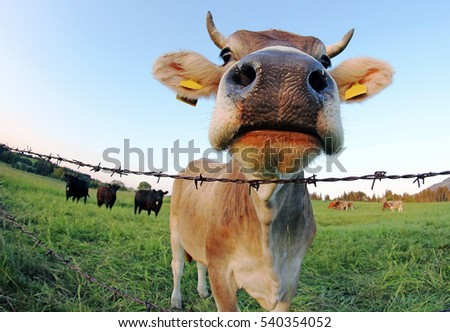 Wide angle view of a brown cattle with horns and bell