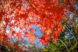 Wide angle view of autumn leaves (maple leaves) with green trees as background in a street of Yufuin in Kyushu, Japan.