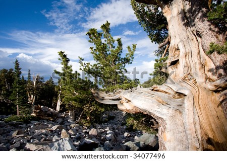Wide angle view of Bristlecone pine tree in Great Basin National Park, Nevada, USA.