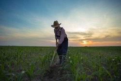 Wide angle view of mature farmer hoeing and weeding corn field at sunset