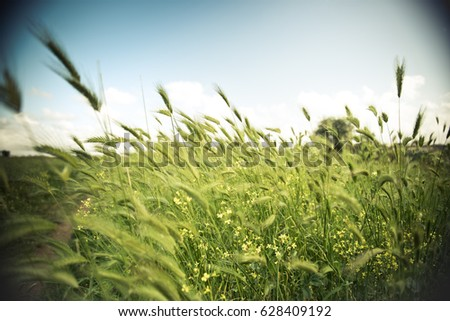 Wide angle view of wild barley field in a sunny and windy day, plant shaken, clouds on blue sky in background