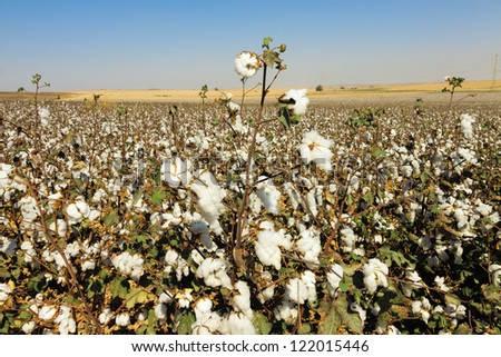 Wide cottons field with ripe cottons bush under blue sky