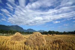 Wide exotic scenery of golden color of heap of rice straw hay in paddy field with beautiful mountain, clouded blue sky background, Those heap are old and traditional style of rice farming in Mae Sai