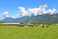 Wide, expansive view of cattle country and dairy cows in a spring valley enjoying lush grassland.