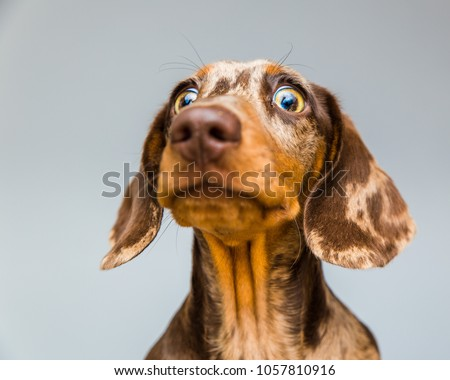 Wide eyed double dapple Dachshund puppy looks intimidated and surprised #1057810916