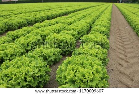 wide field of green romaine lettuce in summer #1170009607