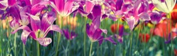 Wide landscape with bright tulips closeup. Panorama with spring flowers for your banner or header to your floral design or decoration of floristry shop.