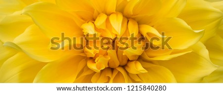Wide long cover or banner. Beautiful yellow flower (dahlia) closeup