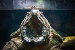 wide open mouthed alligator snapping turtle