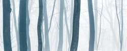 Wide panorama of beautiful snowy forest at foggy winter day with tonal perspective of trees trunks.