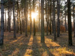 Wide panoramic view of Pine forest with beautiful golden morning side light. Amazing romantic landscape with mysterious autumn forest. Autumn forest in morning light. Beautiful nature background.