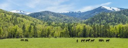 Wide panoramic view, the beginning of summer in the mountains. Green forests and meadows, snow-capped peaks and blue sky. Pasture in the mountains, horses graze.