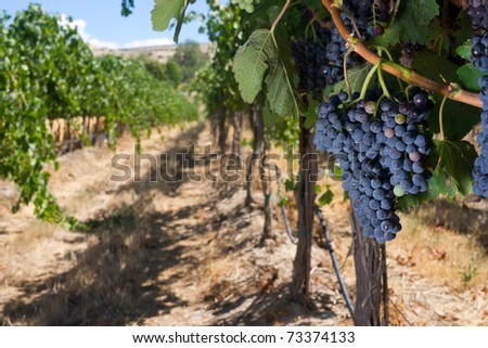 Wide Shot Food Fruit Grape Plant Row Vintners Vineyard Wine Maker
