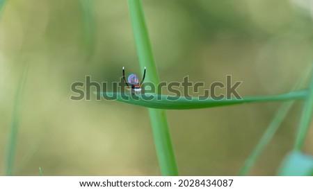 wide shot of a male maratus splendens courtship display. M. splendens is an australian peacock spider Stock fotó ©