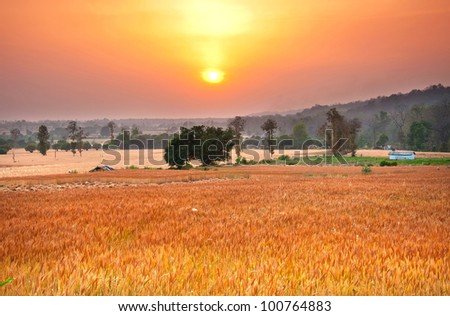 wide shot of sunset over wheat farms in rural pert of India
