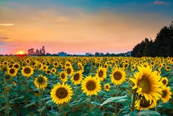 Wide sunflower field during bloody sunset.