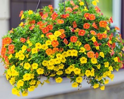 wide view of a hanging basket of million bells flowers