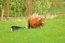 Wide view of an adult Limousin cow playing surrogate mother to a Holstein calf standing in the tall grass.