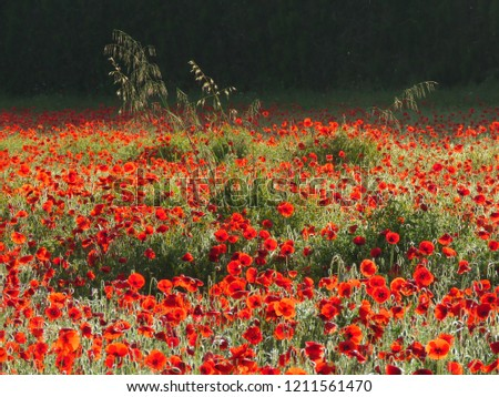 Wide view of poppy field with some stalks of wheat. The morning sunlight illuminates the front of picture, while at the back, the shadow awaits the light in color contrast.