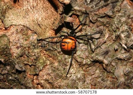 Widow Spider on a tree