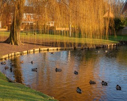Wigginton pond in winter.  The golden fronds of a weeping willow tree reflect in the water where ducks swim around.  A winter sun lights up the far ban