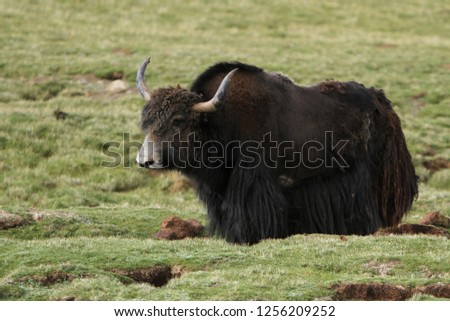 Wil Yak (Bos mutus), a long-haired species of bovid, on the Tibetan plateau of China.