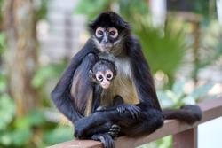 Wild adult and cute baby Spider Monkey snuggled up posing for a parent and child family portrait on the edge of the jungle, Riviera Maya, Mexico