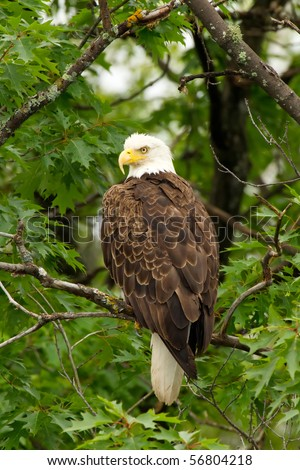 Wild Adult Bald Eagle Perched in Tree (Profile) - stock photo