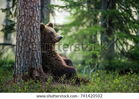 Wild adult Brown Bear ( Ursus Arctos ) in the summer forest.