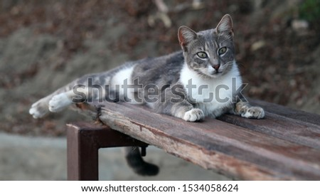 Photo of Wild adult cat living in Cyprus. Cute, soft and furry cat in colors: white, black and grey. This cat is laying on a bench looking alert. Brown and green background. Closeup color image.